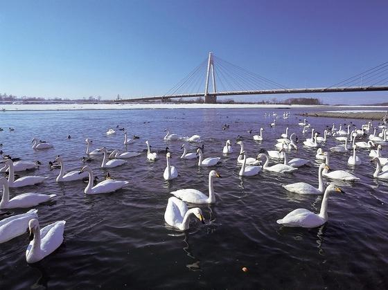冬はホテルの目の前の河川敷に白鳥が飛来する