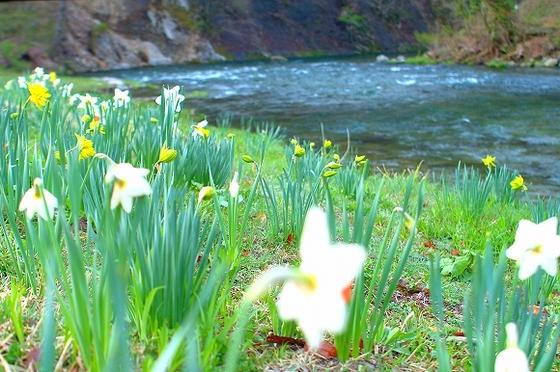 春の豊沢川沿いに咲く「スイセン」。春の花々をご覧いただけます