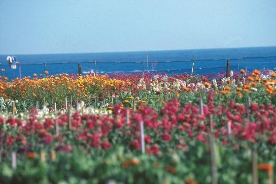 早春の1~3月は南房総各地で露地のお花が咲き乱れます