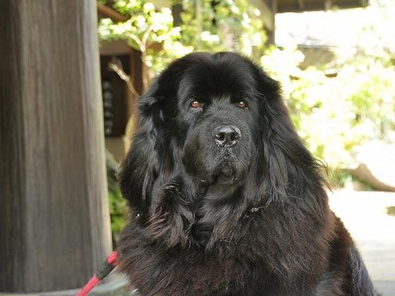 大きくて優しい看板犬