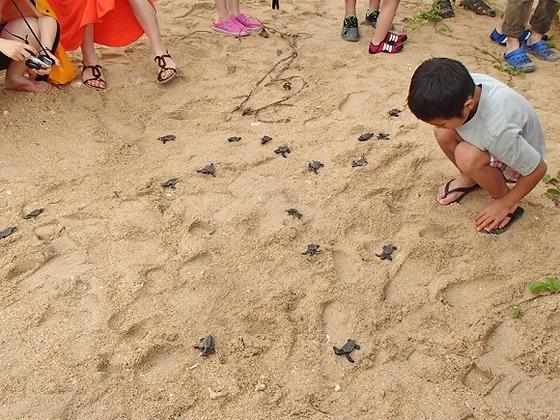 【フサキビーチ】孵化の時期には子ガメに出会えるかも