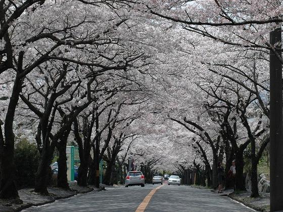 伊豆高原の名物、2000本の桜のトンネル