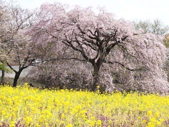 春になると桜が満開の桜の里でピクニックも!車で5分