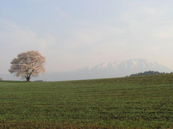 小岩井農場の一本桜と岩手山。5月上旬が見頃。車で15分