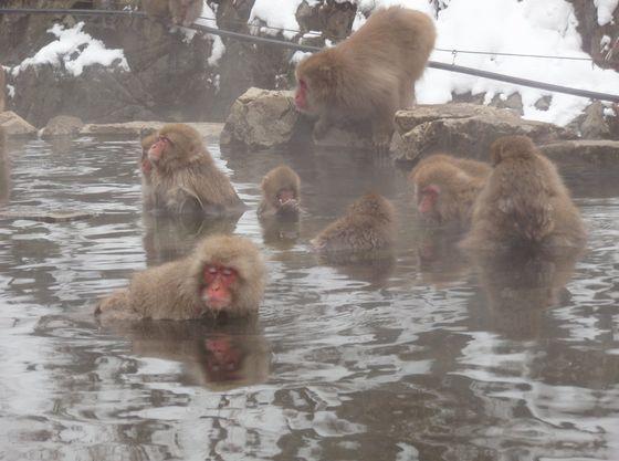 地獄谷野猿公苑~おサルの温泉は世界でただ一つ~