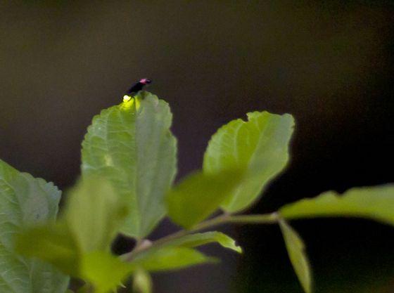 【ほたるの里秋葉公園】淡~い光を放つホタルはとても幻想的です♪