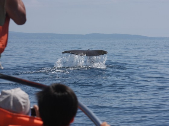 羅臼のクルーズはお子様の目の前にマッコウクジラが!