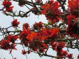 沖縄で春に咲く「デイゴ」。身近な所にあるので親子でチェック