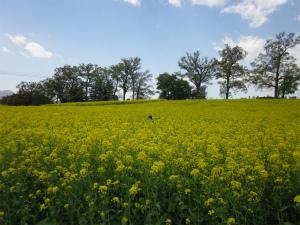 北陸新幹線でアクセス至便な「飯山」へ!菜の花の迷路に子どもはびっくり!
