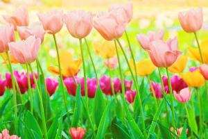 春といえばチューリップ!本場富山のチューリップフェアへ
