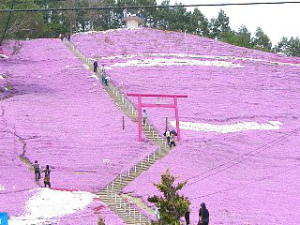 展望台から眺めるピンク一色の景色は圧巻。芝桜を眺めるならここ