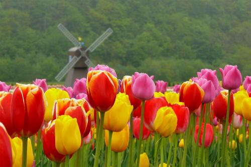 春の旅育~GWも桜を楽しむなら北へ&芝桜・観光列車情報も(北海道・東北)